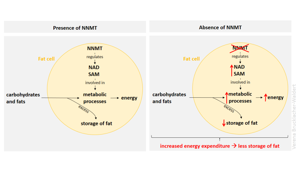 Targeting NNMT could be a promising approach for treating obesity and type 2 diabetes
